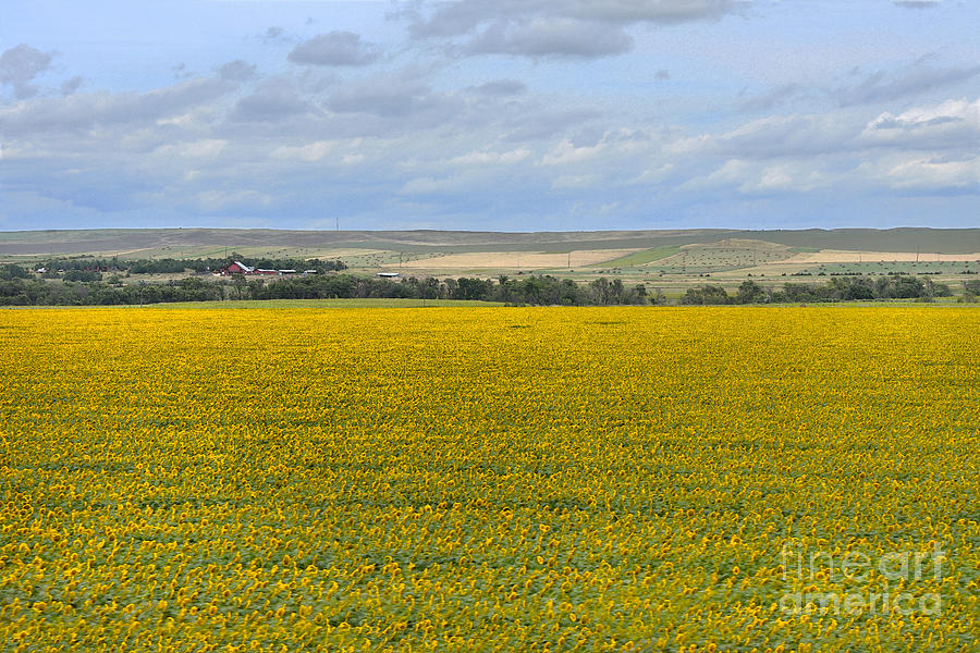 South Dakota Sunflower Farm by Catherine Sherman