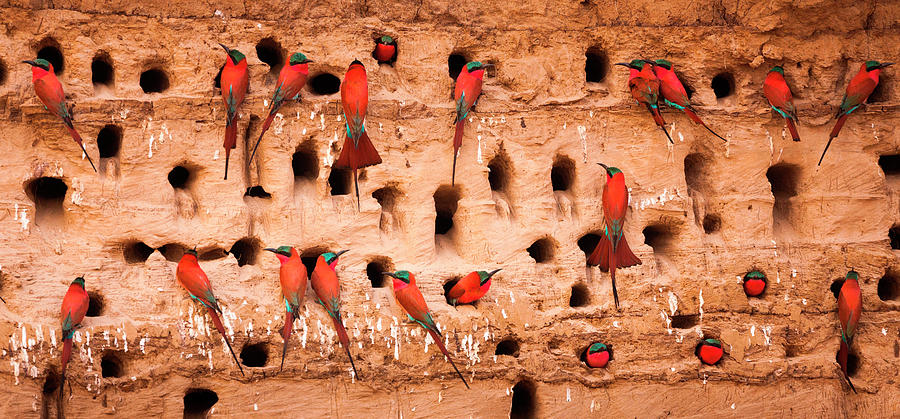 Southern Carmine Bee-eaters, South Photograph by Mint Images/ Art Wolfe