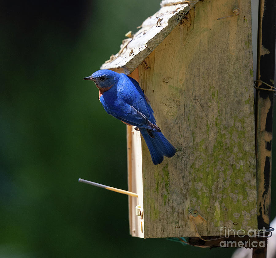 Southern Eastern Blue Bird by Dale Powell