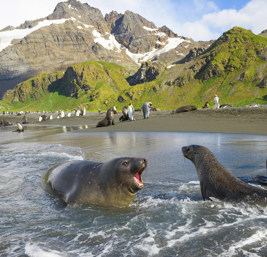 Southern Elephant Seal Pup Barking At Photograph by Eastcott Momatiuk