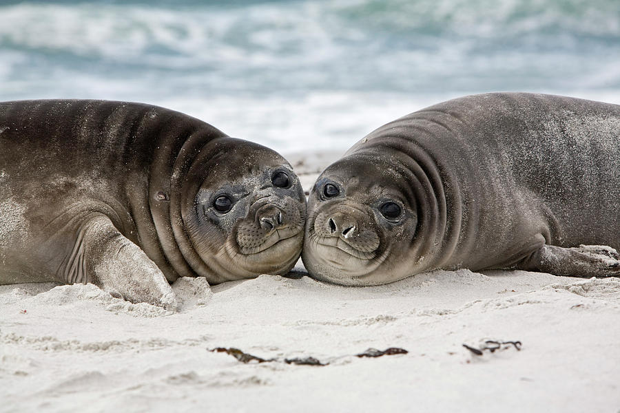 Southern Elephant Seal Pups by Dickie Duckett
