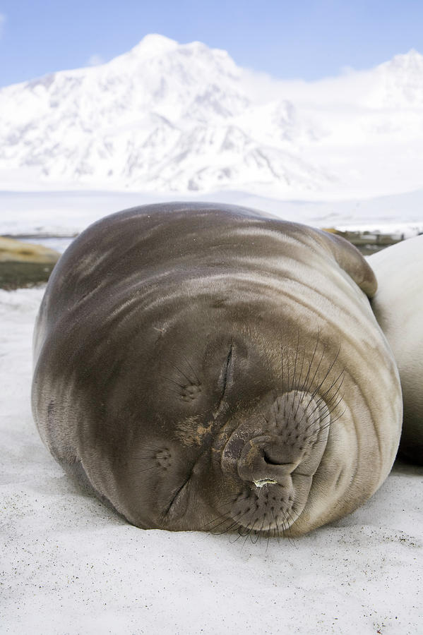 Southern Elephant Seal Weaner Pup Photograph by Eastcott Momatiuk