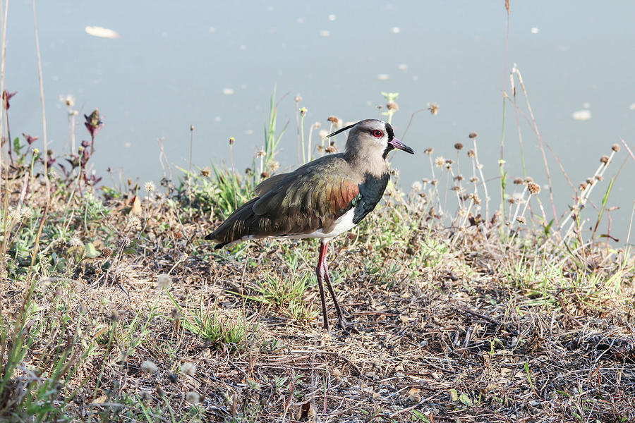 Southern Lapwing Panama by Marlin and Laura Hum