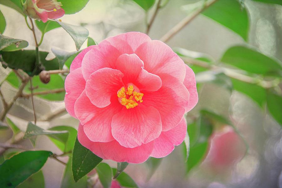 Southern Plantation Camellia by Douglas Wielfaert