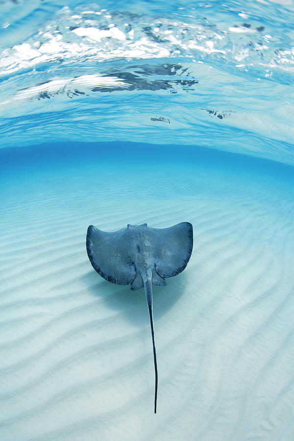 Southern Sting Ray At Stingray City Photograph by Justin Lewis