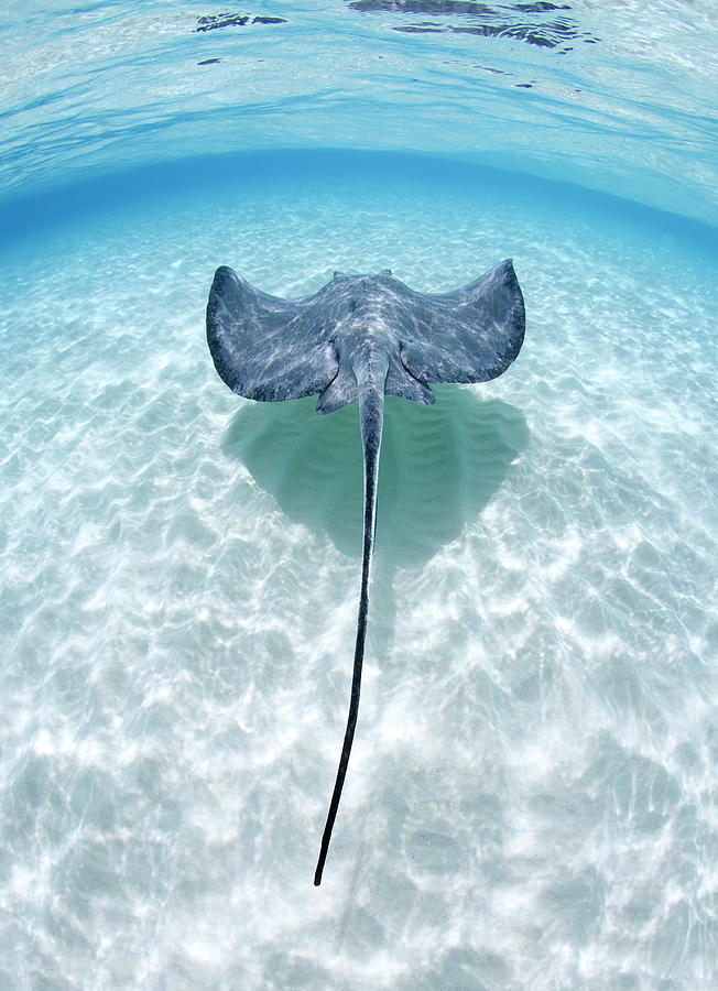 Southern Stingray Cayman Islands Photograph by Justin Lewis