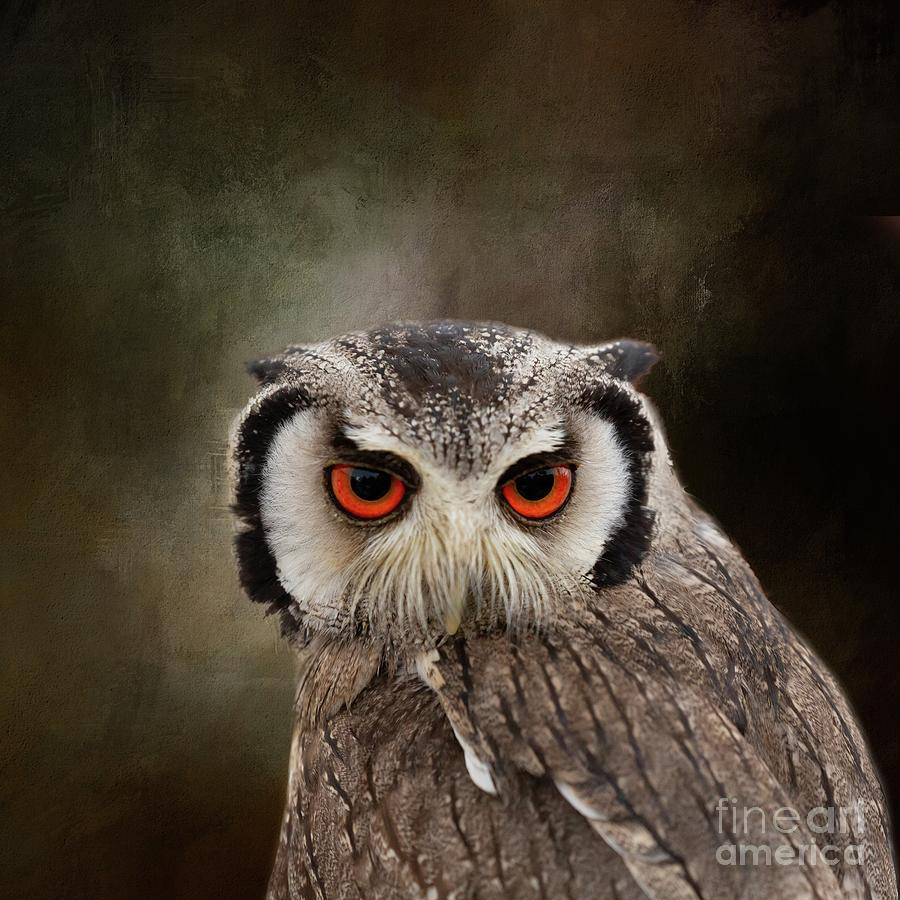 Southern White-Faced Scop Owl-3 by Eva Lechner