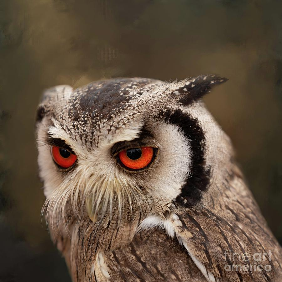 Southern White-Faced Scop Owl by Eva Lechner