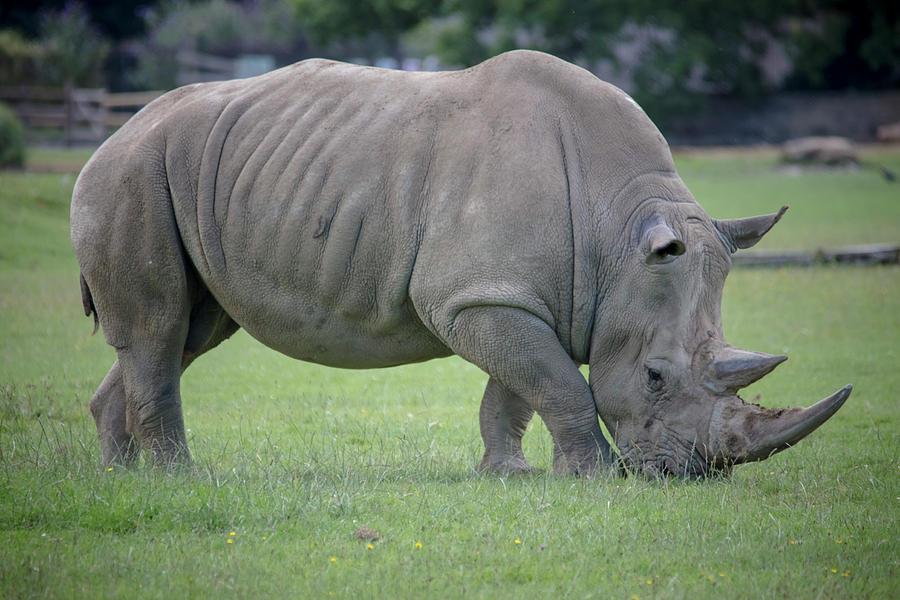 Southern White Rhino by Cheltenham Media