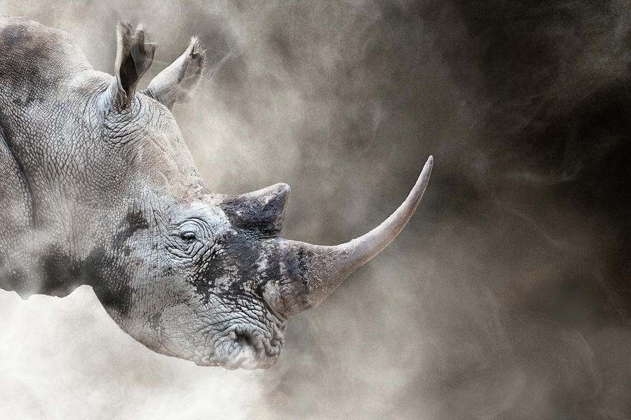 Southern White Rhino In The Dust by Susan Schmitz