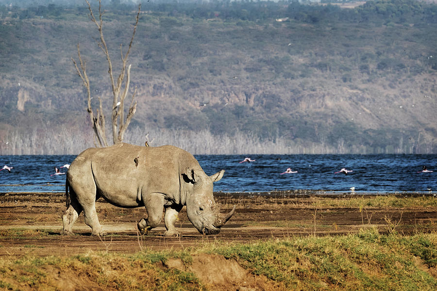 Southern White Rhino Walking in Lake Nakuru by Susan Schmitz