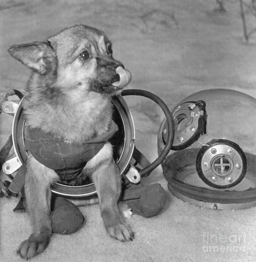 Soviet Space Dog In Space Suit Photograph by Bettmann
