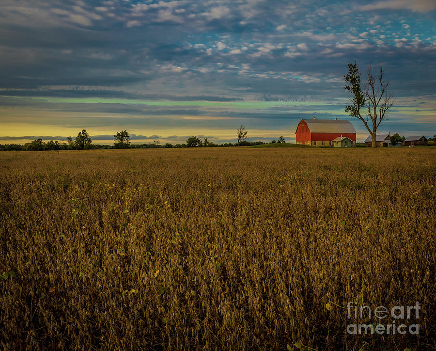 Soybean Sunset by Roger Monahan