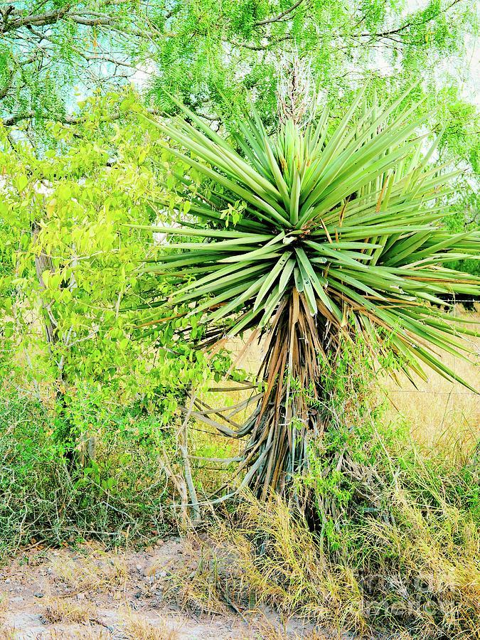 Spanish Bayonet Yucca by Gary Richards