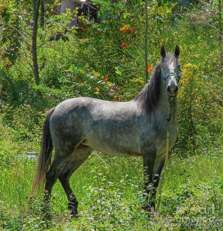 Spanish horse by Barry Bohn
