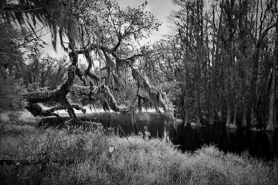 Spanish Moss in Tree by Jon Glaser