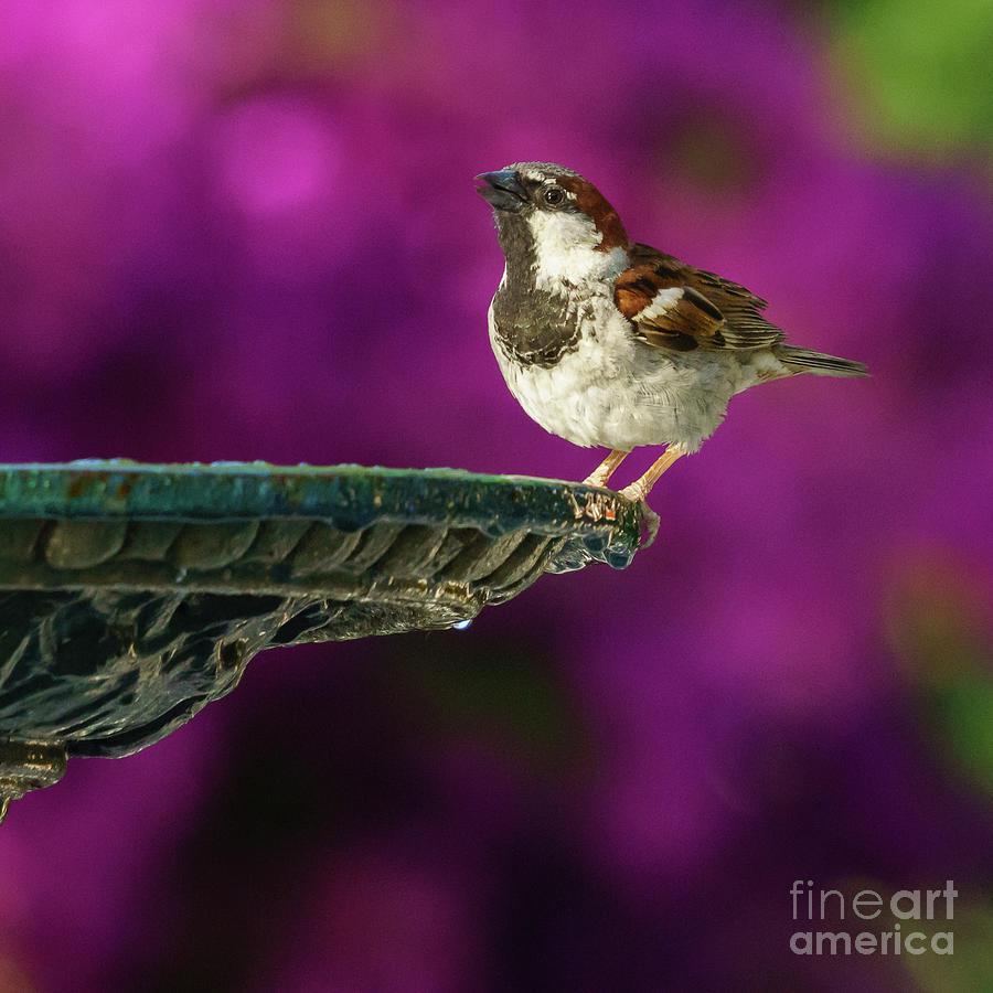 Spanish Sparrow and Iron Fountain by Pablo Avanzini
