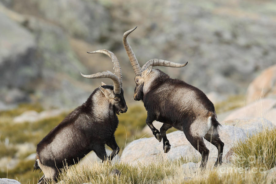 Big Photograph - Spanish Wild Goat - Iberian Ibex - by Paolo-manzi