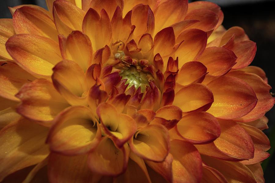 Dahlia Photograph - Sparkling Dahlia by Linda Howes