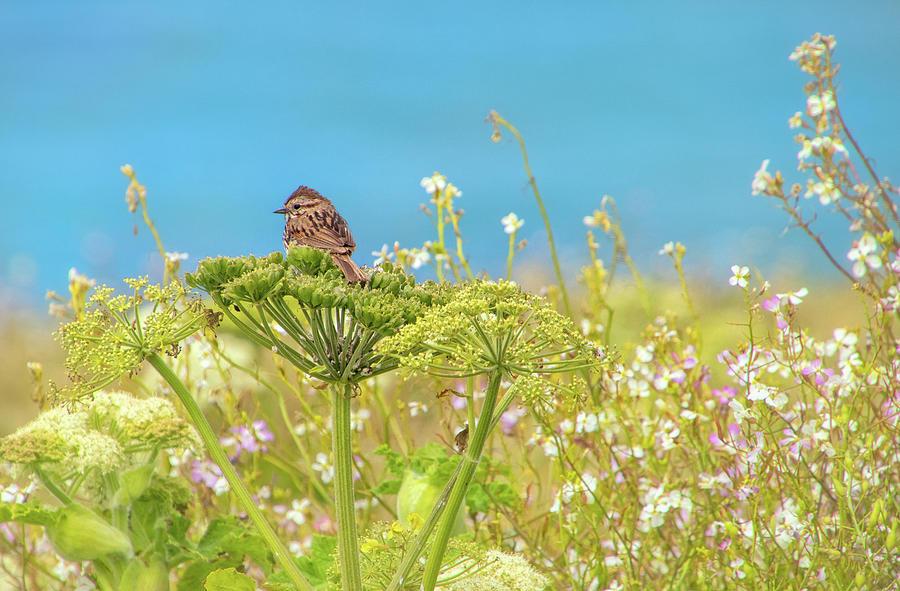 Sparrow on Wildflowers in Point Reyes by Carolyn Derstine