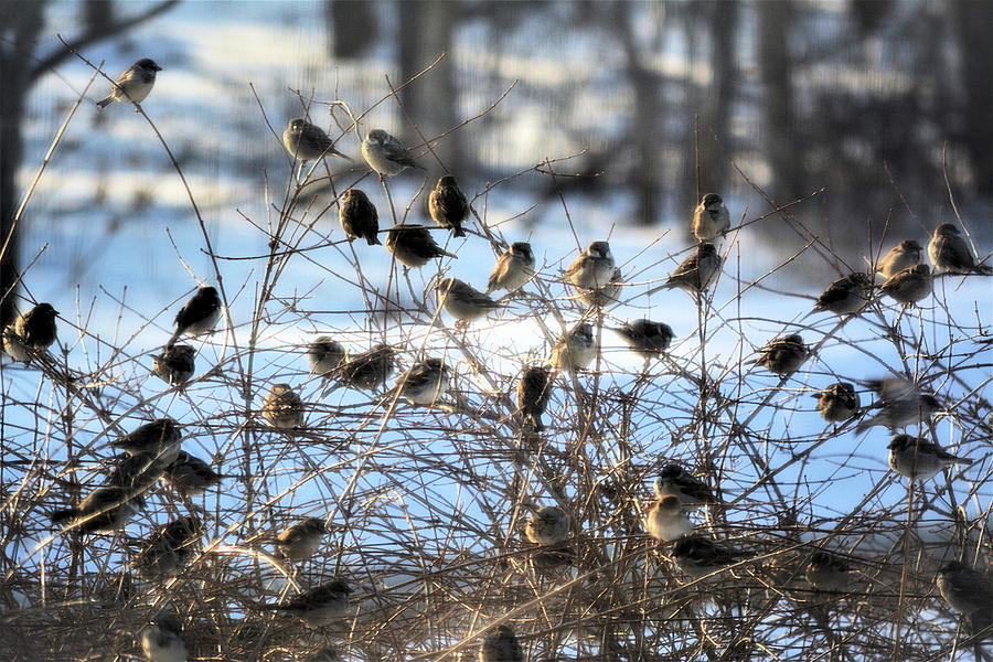 Sparrows In Winter Photograph