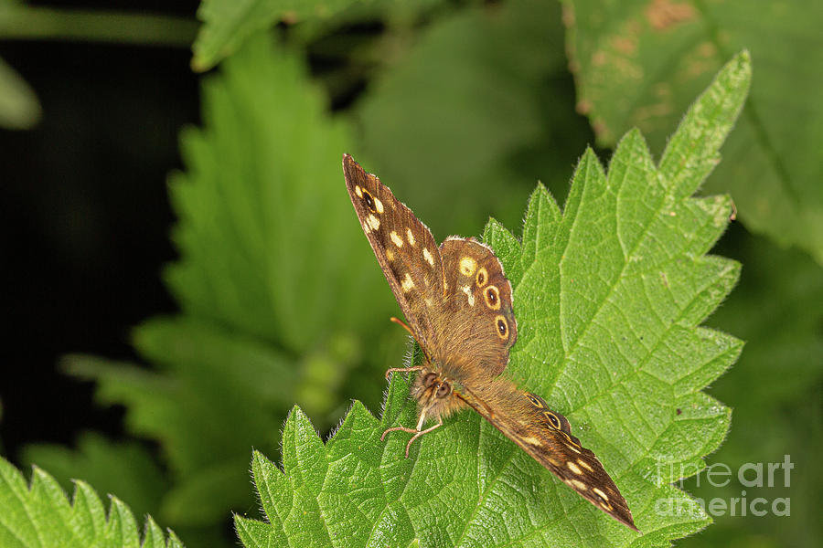 Speckled Wood by Brian Roscorla