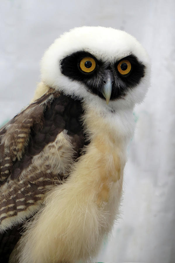Spectacled Owl by Carolyn Fletcher