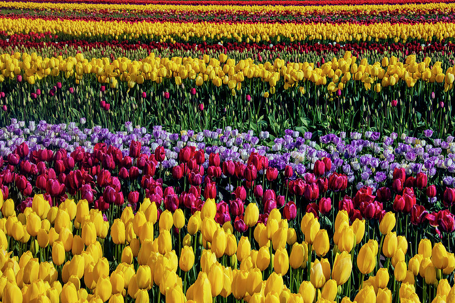 Tulip Photograph - Spectacular Rows Of Colorful Tulips by Garry Gay