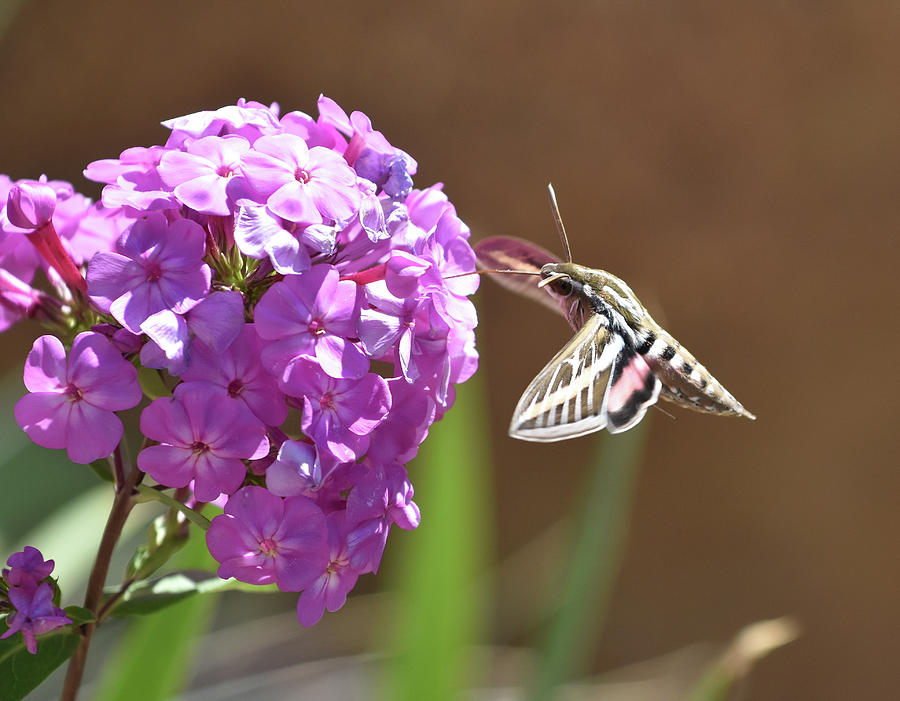 Sphinx moth at tall phlox by Ben Foster