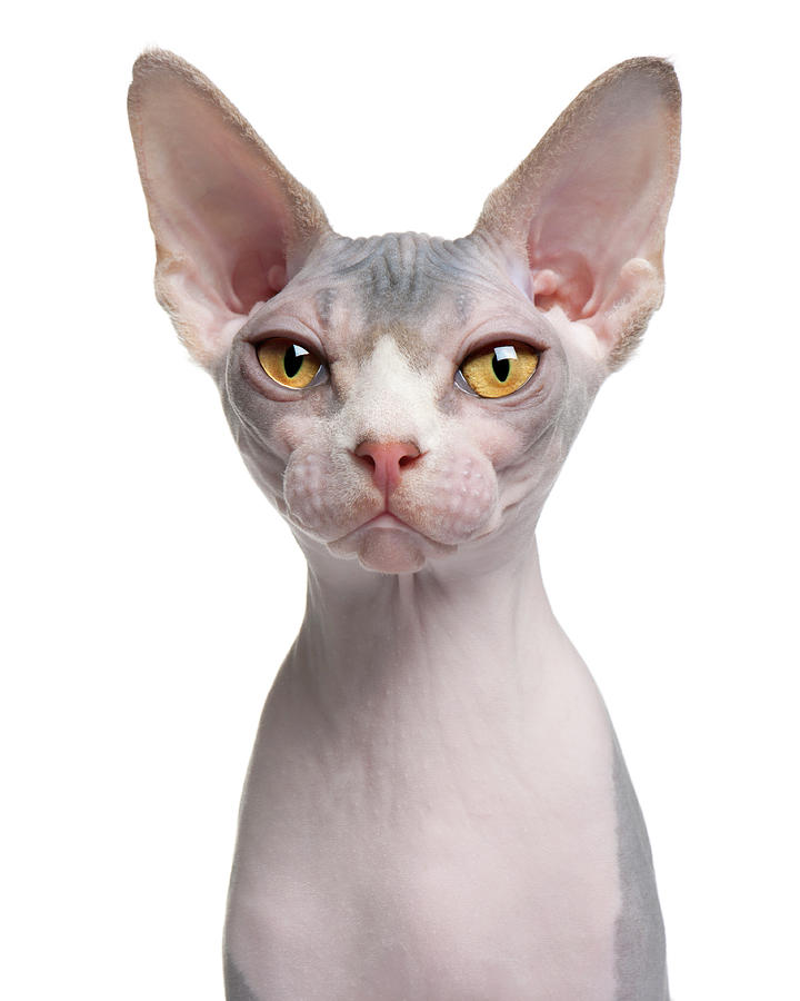 Sphynx 7 Months Old Photograph by Life On White