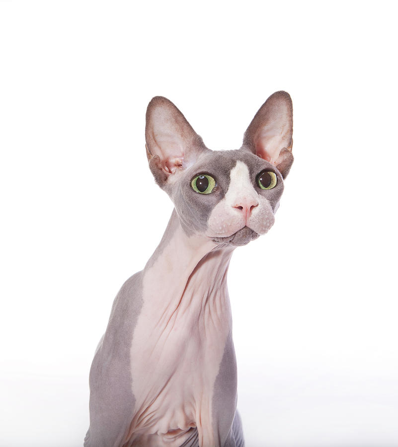 Sphynx Cat With Surprised Expression Photograph by Hollenderx2