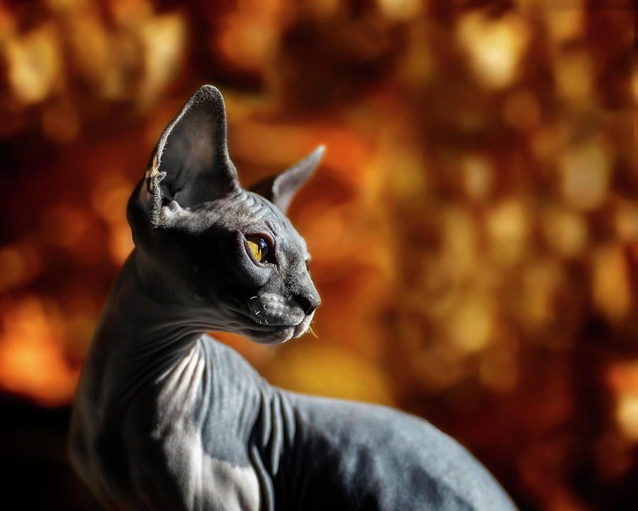 Sphynx in Fall Bokeh by Wes and Dotty Weber