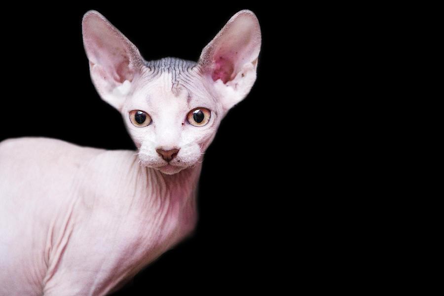 Sphynx Kitten Sweet Cute Hairless Pet Photograph by Alper Tunc