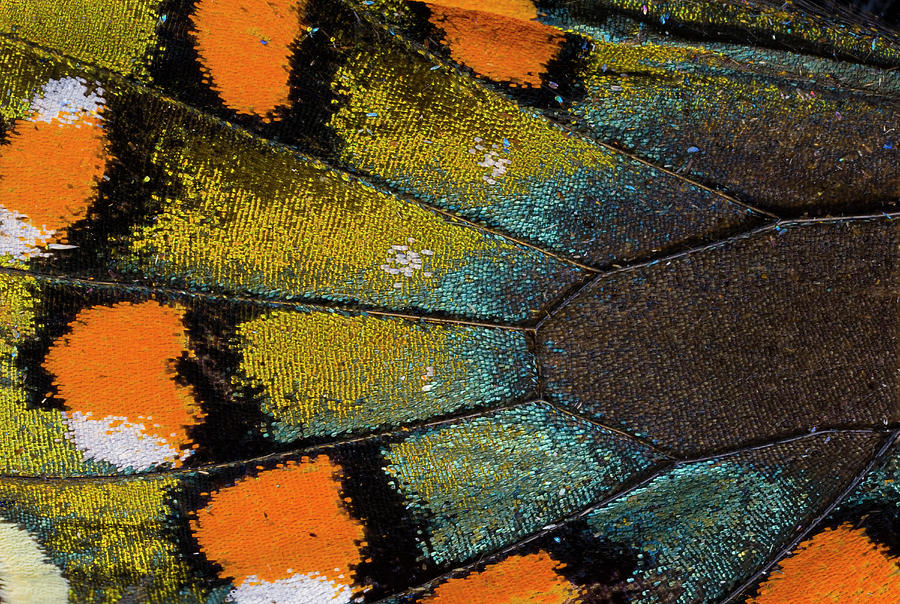 Spicebush Swallowtail Butterfly Wing Photograph by Darrell Gulin