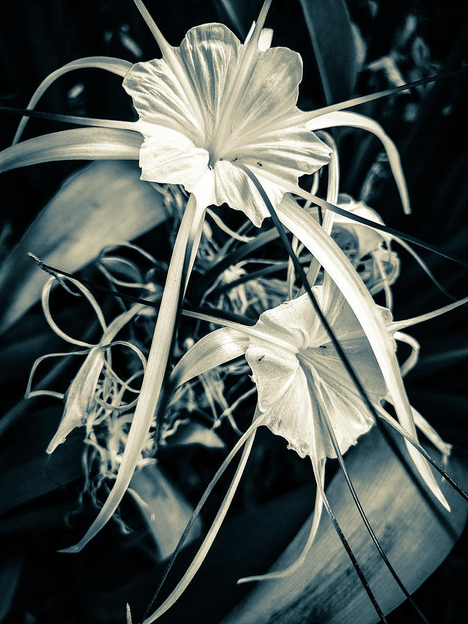 Spider Lily Photograph