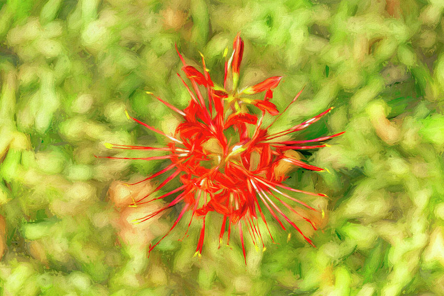 Spider Lily Photograph - Spider Lily Pop by Kay Brewer