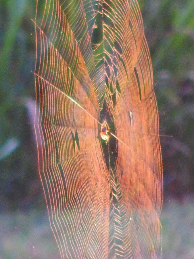spider web in morning light by Virginia Kay White