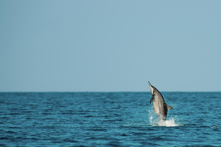 Spinner Dolphin Photograph by Alex Martin Ros