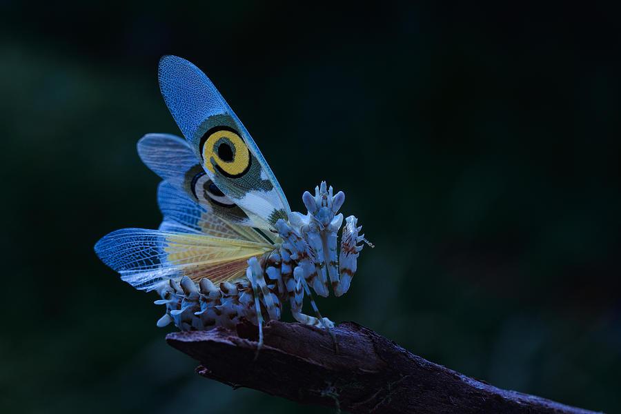 spiny-flower-mantis-jimmy-hoffman.jpg