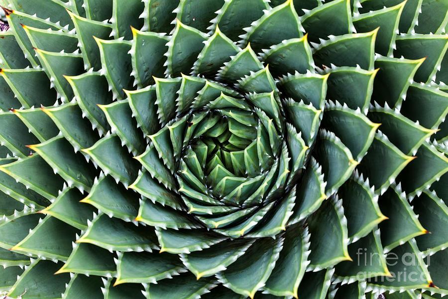 Botanicus Photograph - Spiral Aloe-aloe Polyphylla by Gil.k