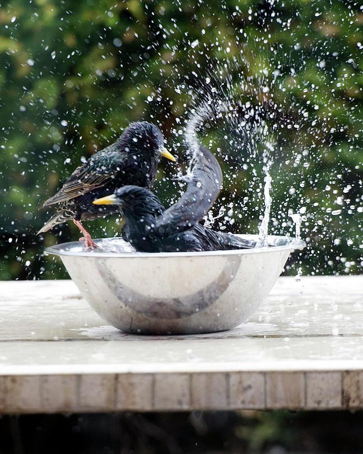 Splashing Starlings Photograph