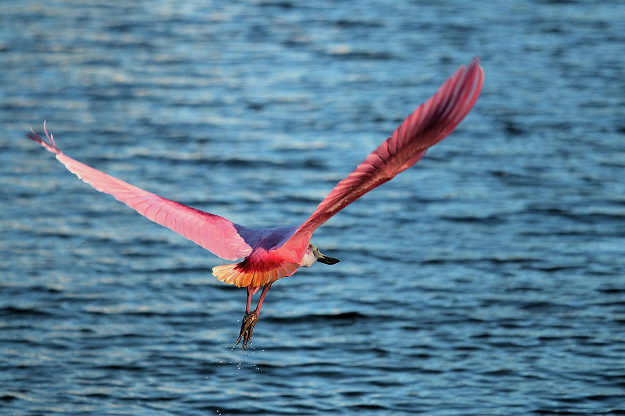 Spoonbill Wingspan by Karl Ford