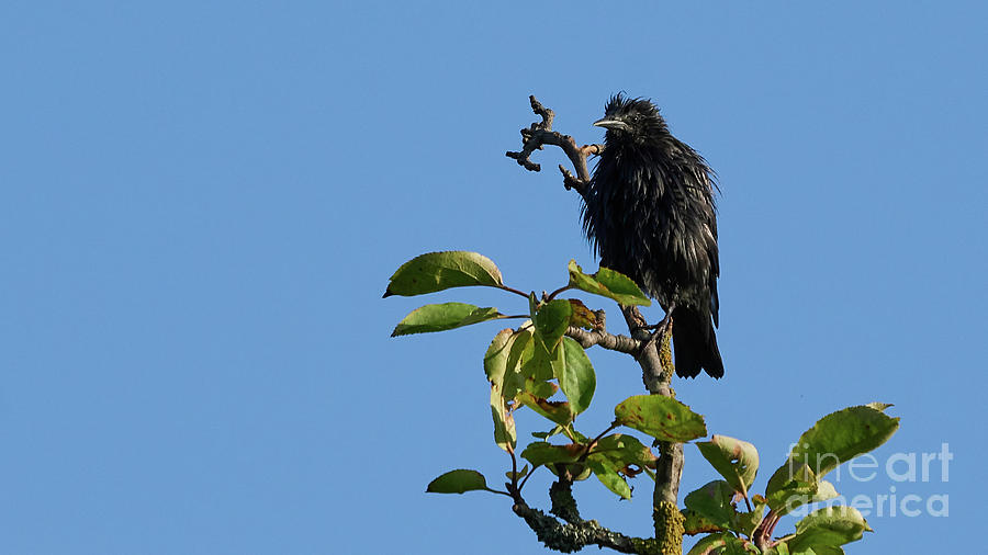 Spotless Starling Perched on a Tree Blue Sky by Pablo Avanzini