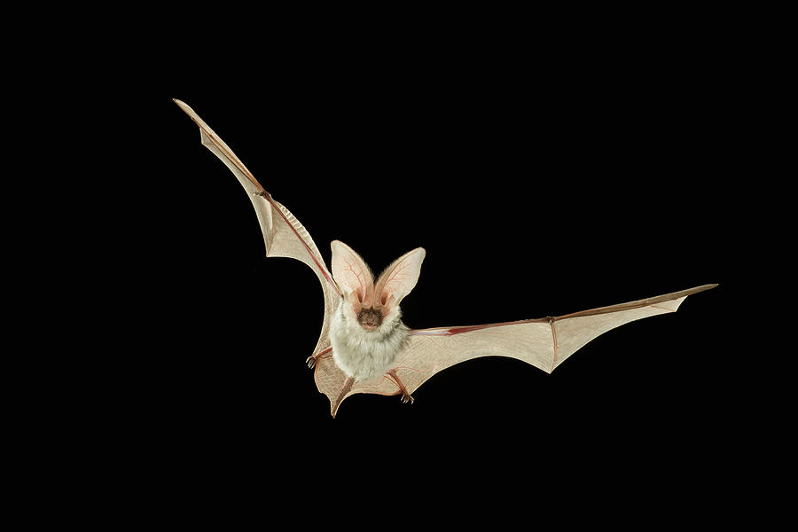Spotted Bat Euderma Maculatum Flying At Photograph by Michael Durham/ Minden Pictures