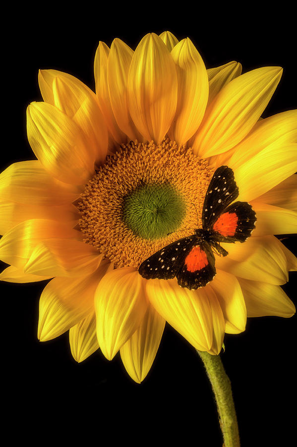 One Photograph - Spotted Butterfly On Sunflower by Garry Gay