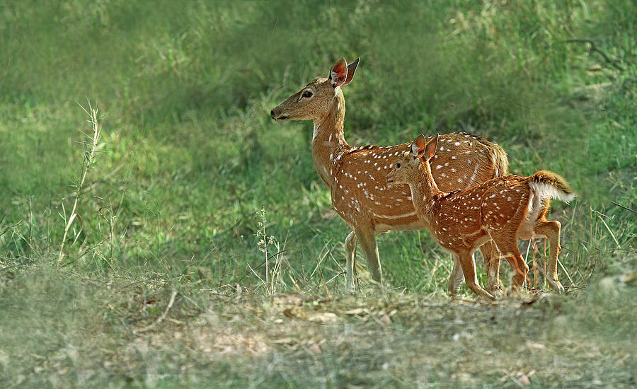 Spotted Deer Photograph by ©anaytarnekar