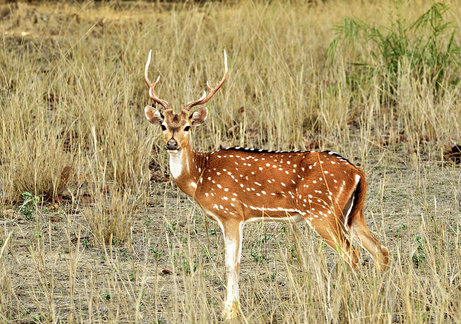 Spotted Deer Chital Photograph by Safique Hazarika Photography