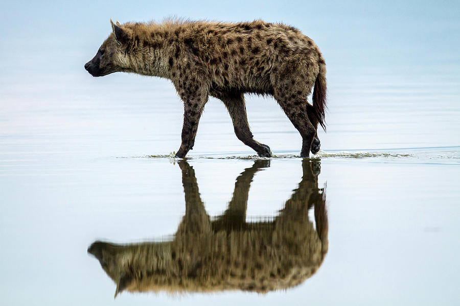 Spotted Hyena Looking For Weak Flamingos Photograph by Manoj Shah