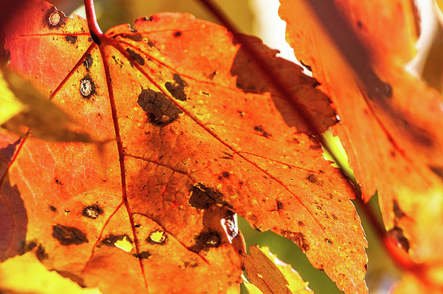 Spotted Red Leaf by James L Bartlett