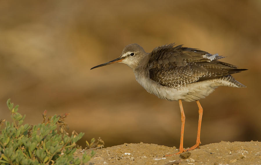 Spotted Redshank Photograph by Copyright Mike Barth